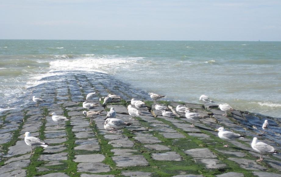 Möwen an der Nordsee (Bredene)